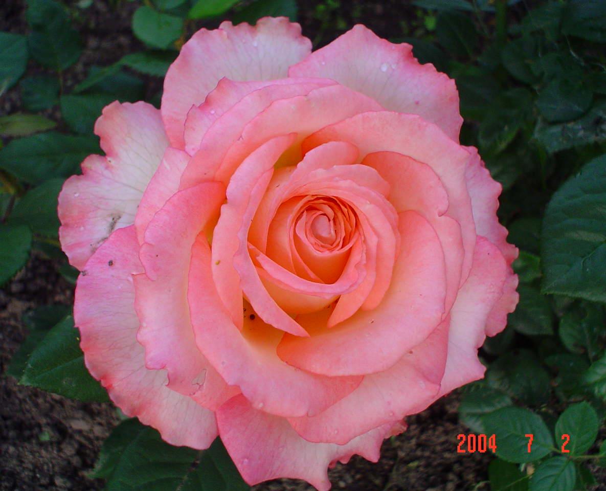 Роза дуэт и описание и уход