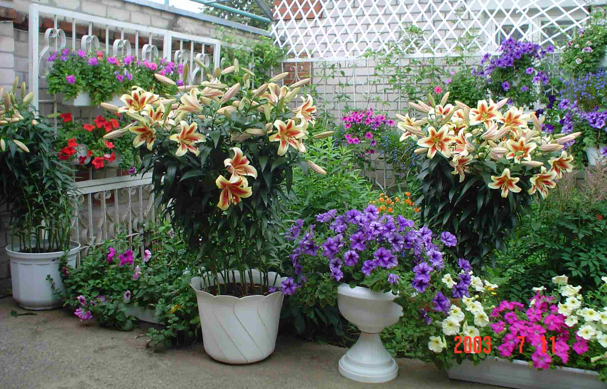 Фото лилий в саду цветы