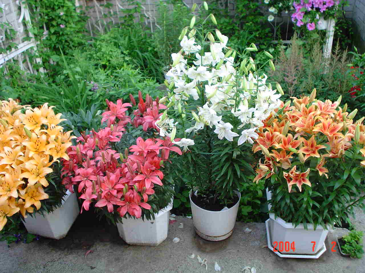 Лилии в саду выращивание и уход в