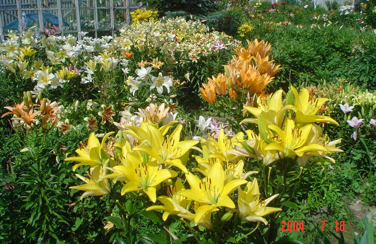 Посадка и пересадка лилий осенью - Садовые цветы 99