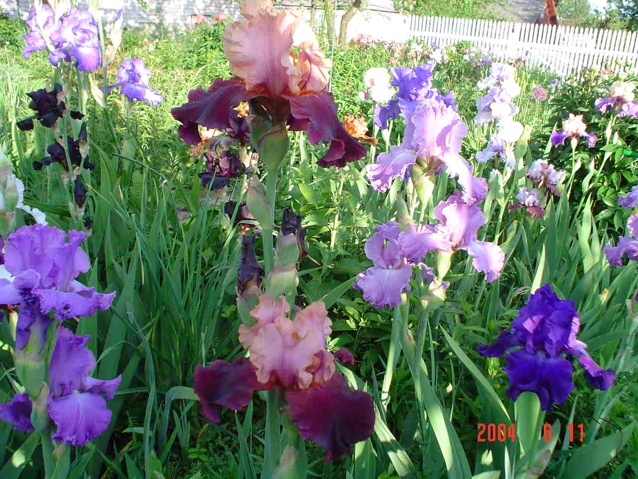 Ирисы - посадка и уход в открытом грунте весной, когда пересаживать, чем 87