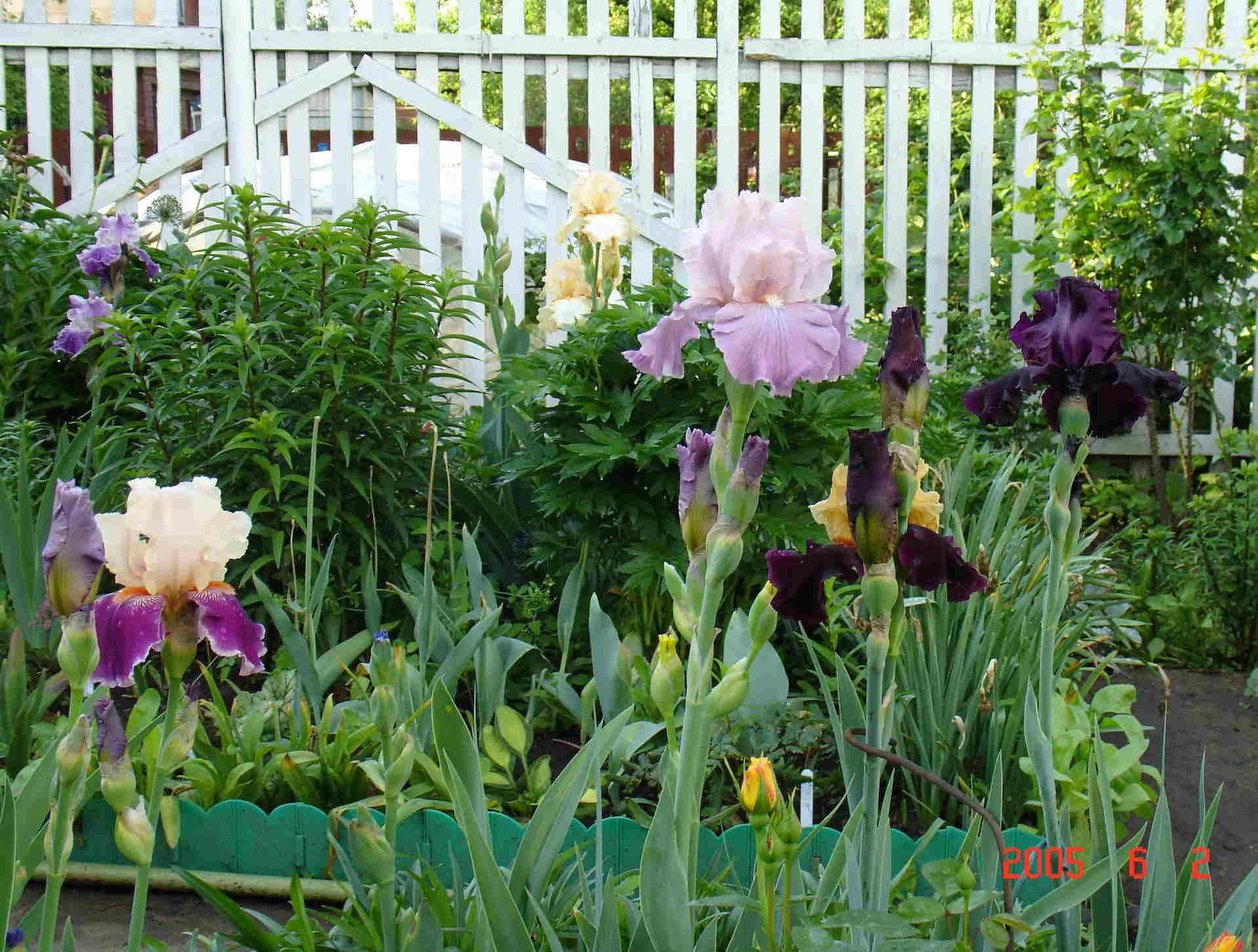 Фото цветы ирис на даче