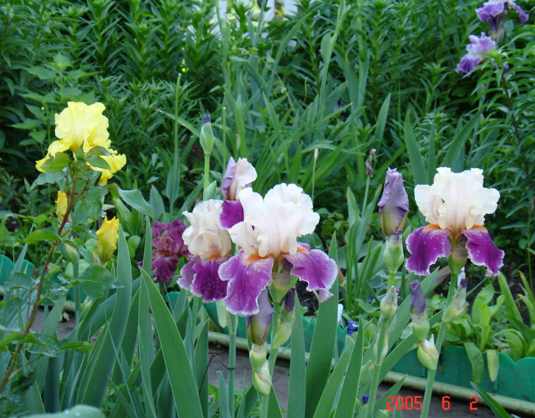 Цветы ирисы выращивание: уход и 37