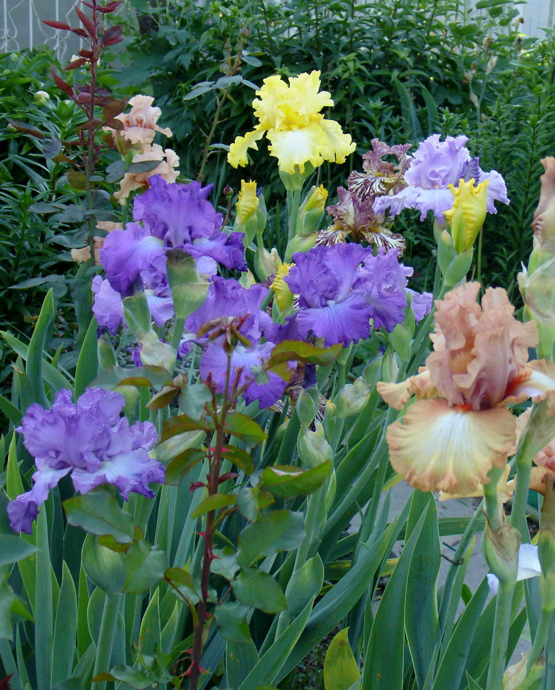 Цветы ирисы выращивание: уход и 28