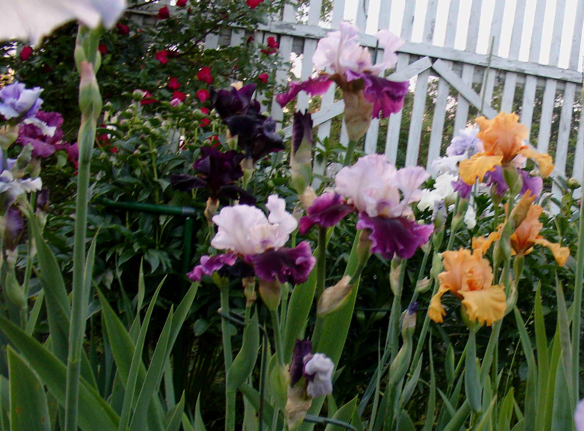 Цветы ирисы выращивание: уход и 74
