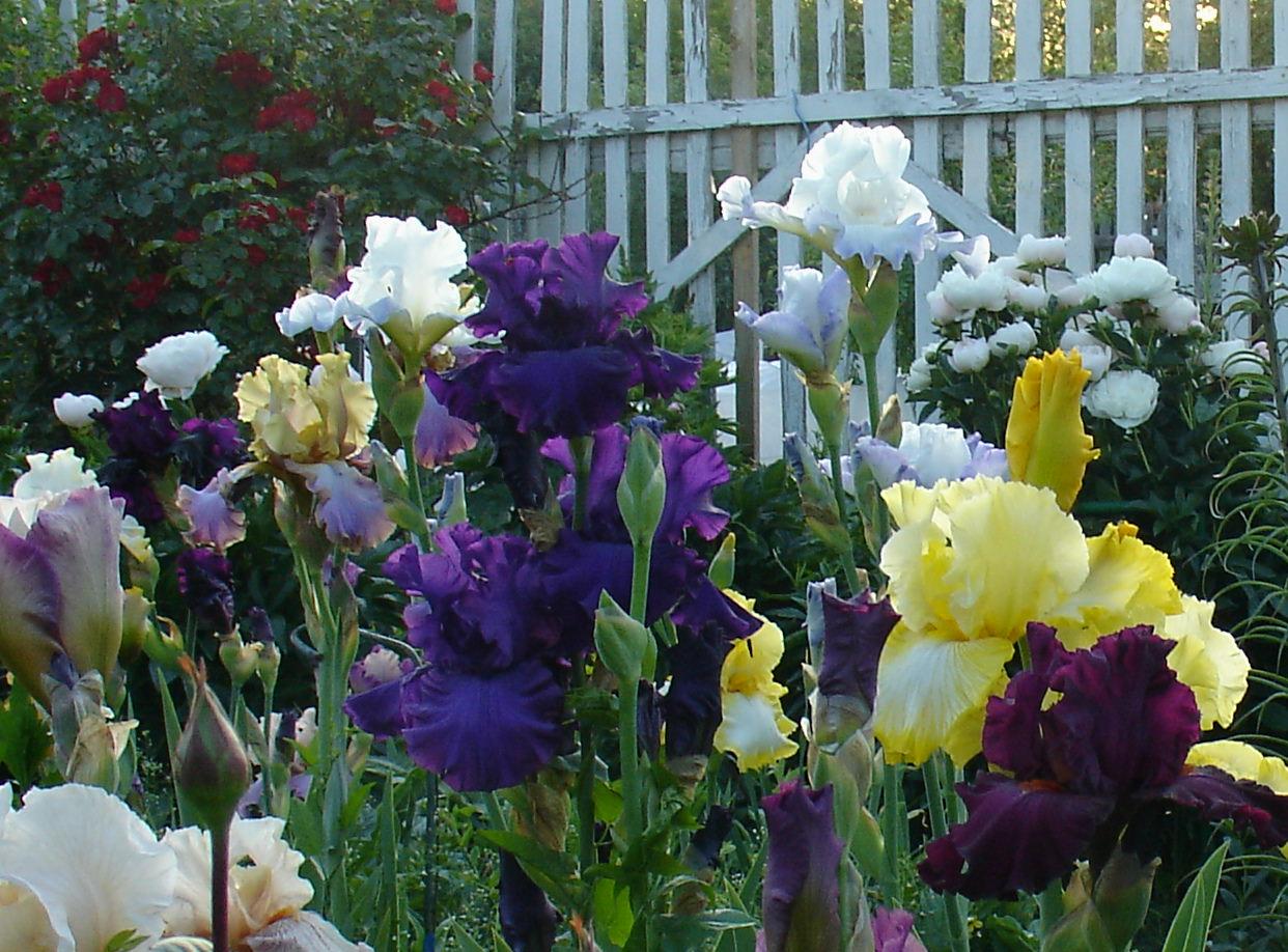 Цветы ирисы выращивание: уход и 95