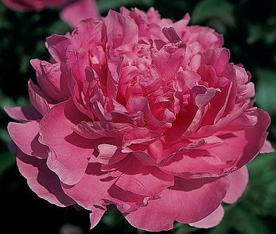 пион Pink Parfait
